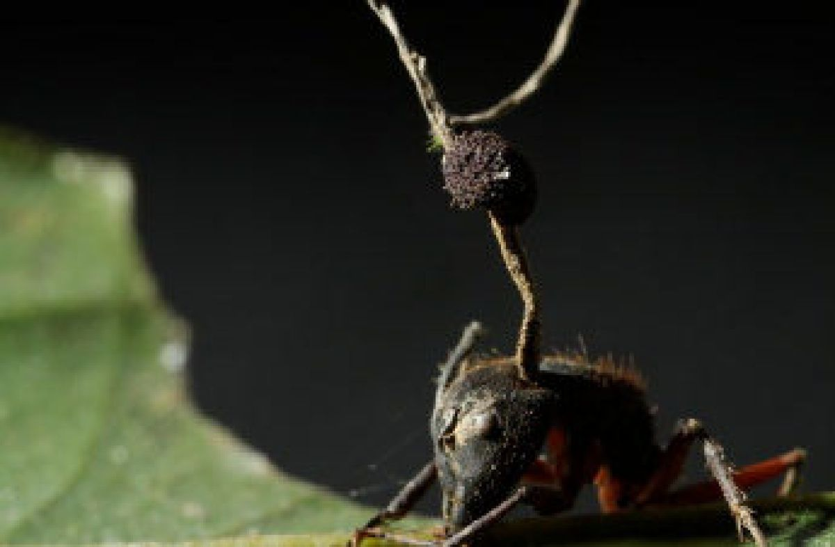 Newly discovered fungi turn flies into zombies and devour them from the inside out